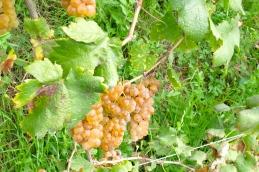 Orosia_1^ vendemmia biologica_Bollengo